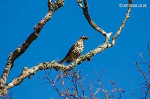 Bird-(D)-MOD