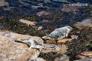 Seal-pup-(D)-MOD