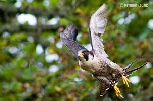 Falcon-(D)-MOD